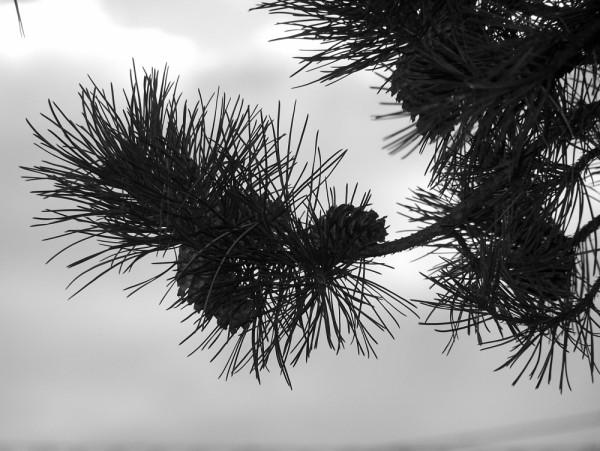 pinecone silouette