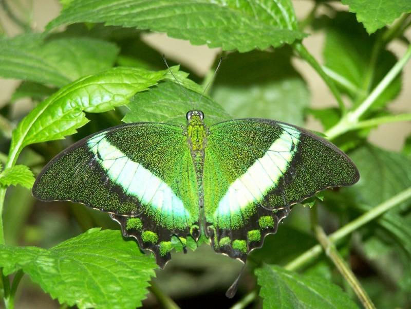 green bu!tterfly