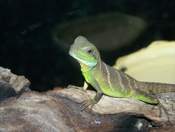 little lizard