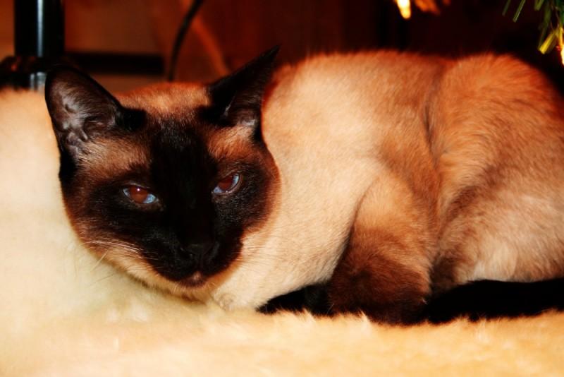 Buddha the Cat