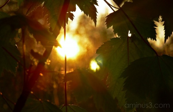 sunset through the leaves