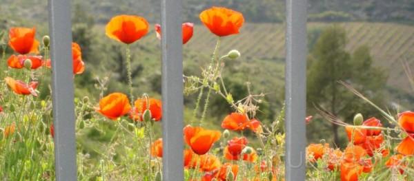 Amapolas prisioneras, Poppies, prisoners