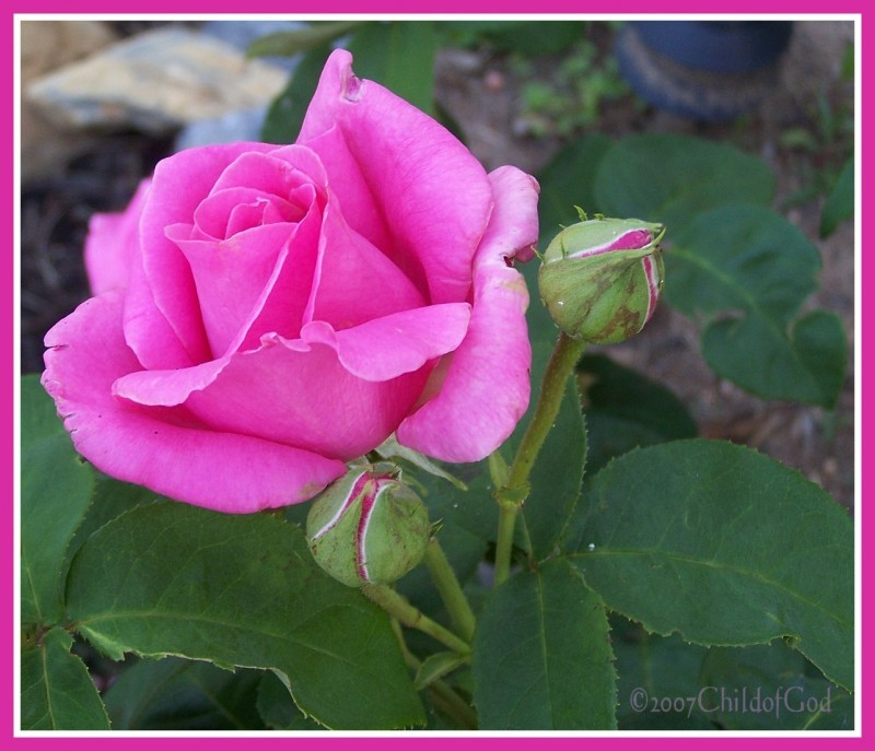 Kelly's Pink Rose