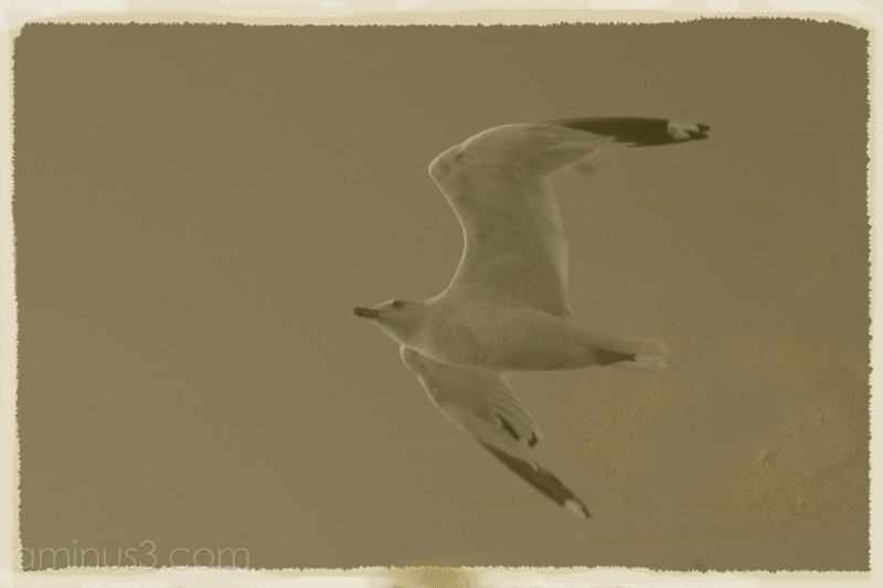 Hollister Gull