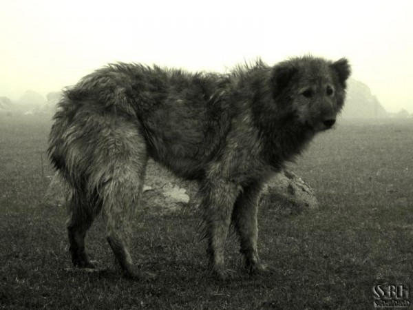 dismal dog in fog