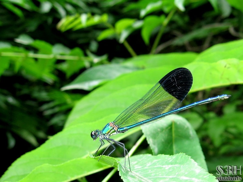 Metallic Dragonfly