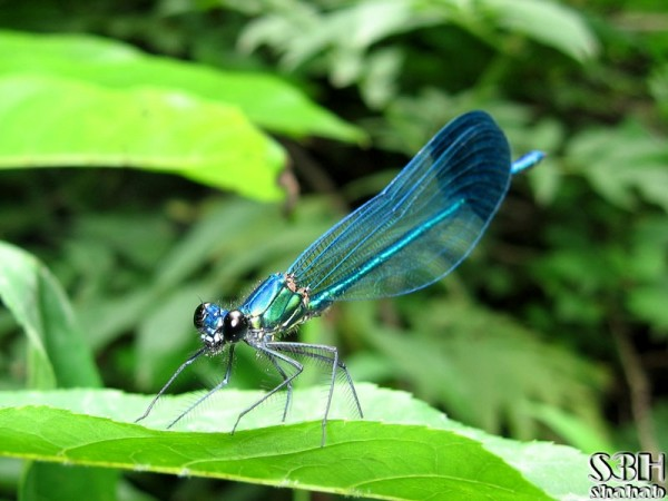 Metallic Dragonfly (2)