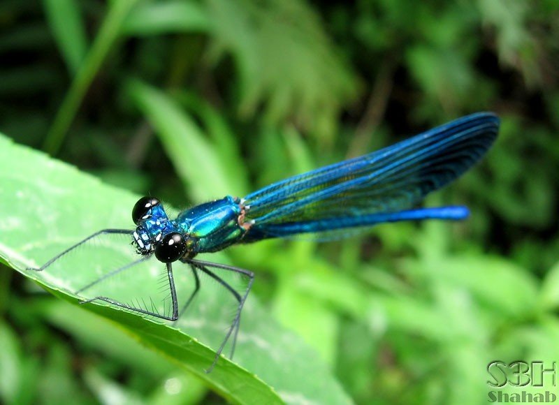Metallic Dragonfly (3)