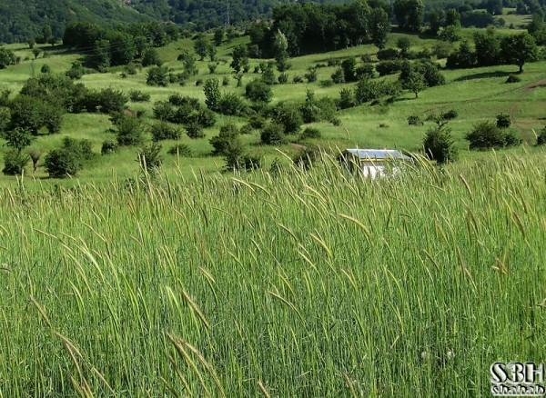 Fields of  Green Gold