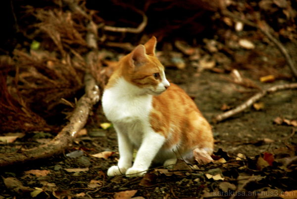 kyoto, cat