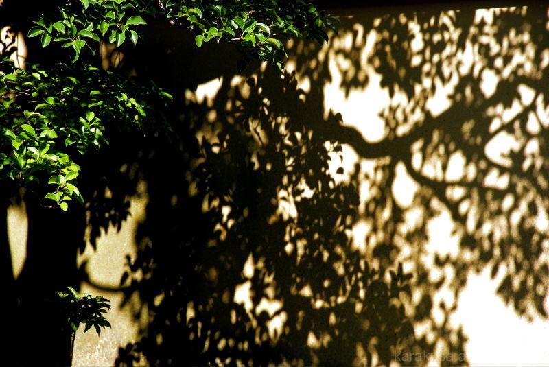 kyoto, Daitokuji, tree