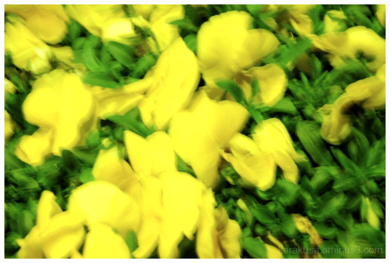 pansy; thoughts, love