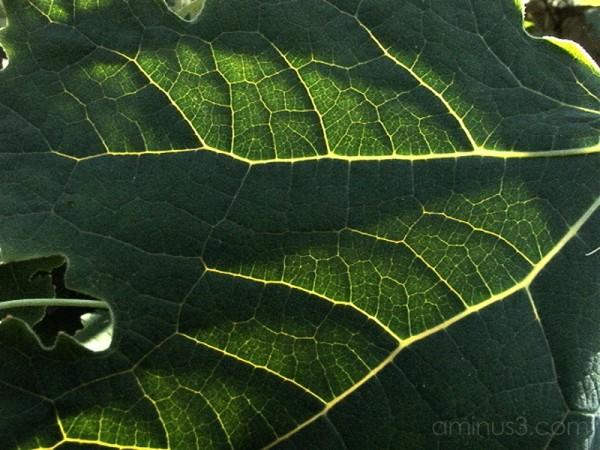 Macleaya Cordata Leaf