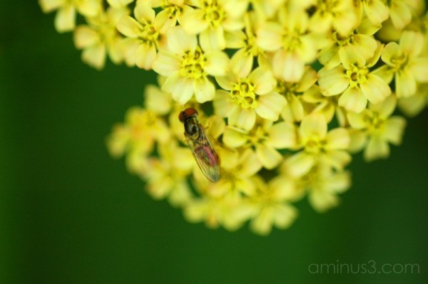 Fly pollinating flower