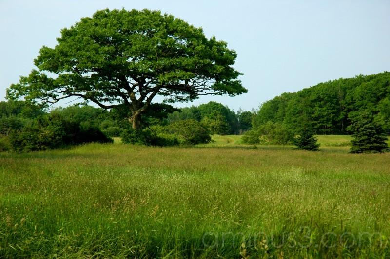 Maine field in summer