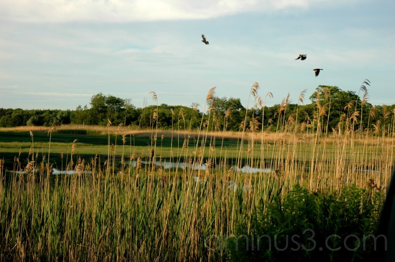 Blackbirds in the Scarborough Marsh