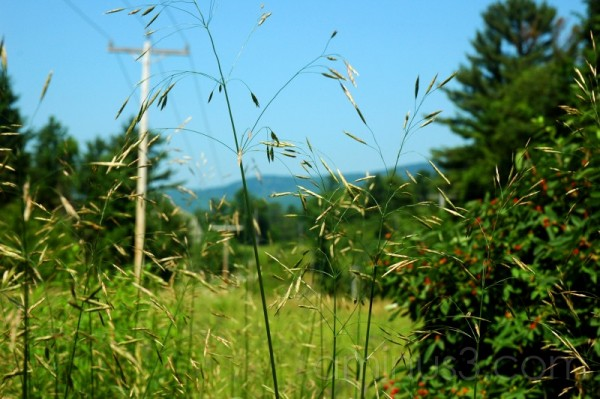Wild grasses among the power lines
