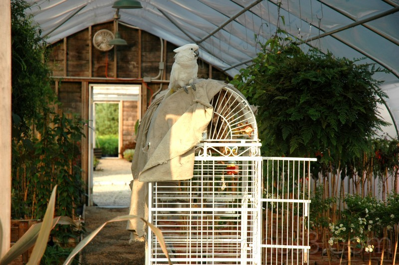 Umbrella cockatoo