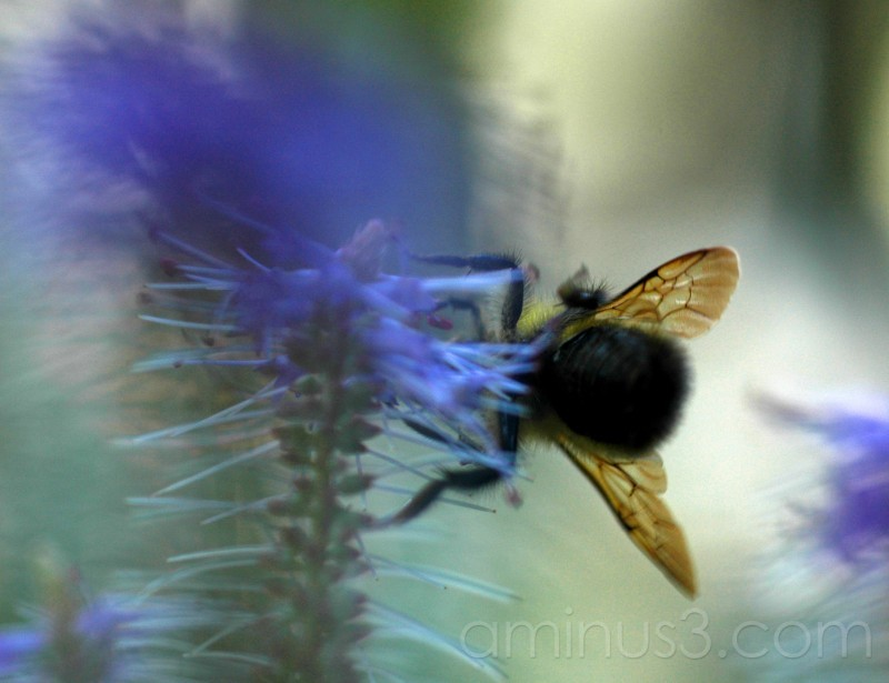 Bumblebee on agastache