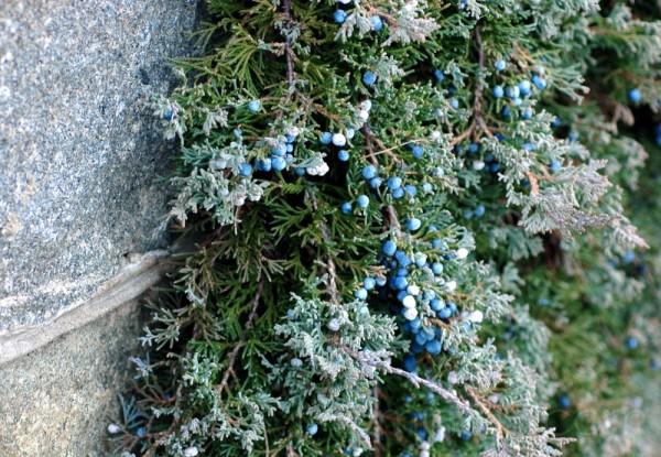 Juniper-draped granite