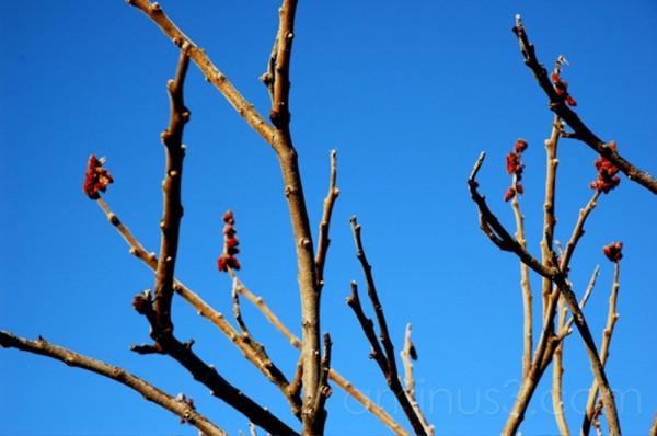 sumac native tree