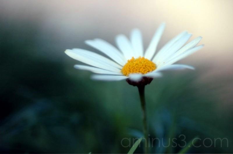 Winter greenhouse daisy