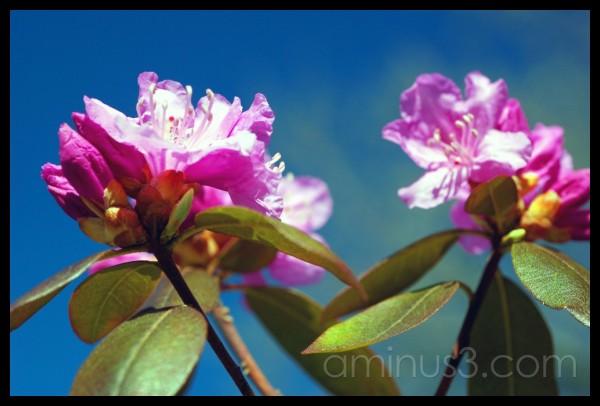 sweet azalea