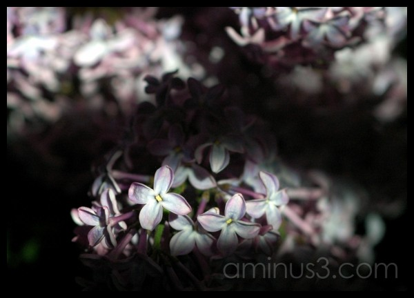 Illuminated lilac