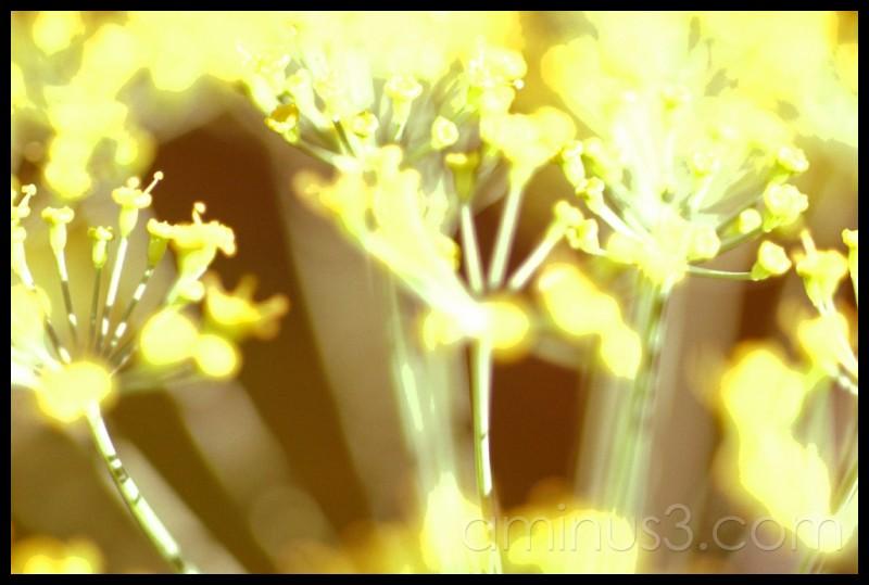 Electric Garden Dill
