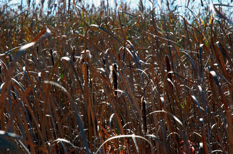 Cattails waning