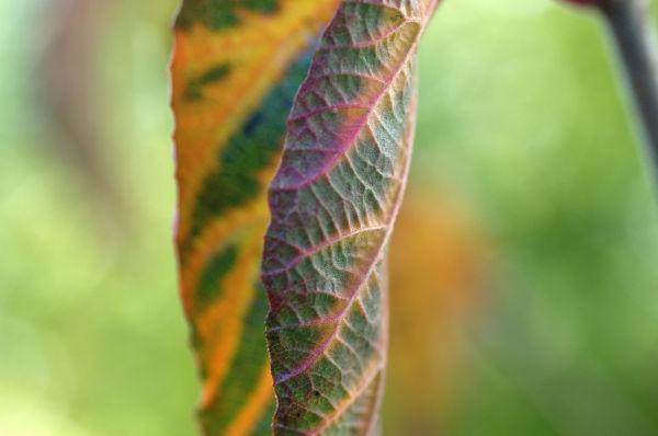 Viburnum vibe