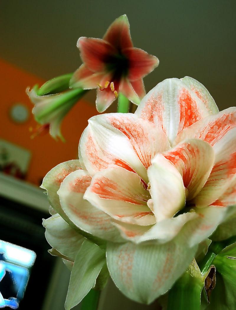 Amaryllis abundance