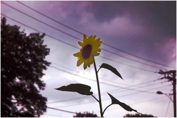 Ominous sunflower