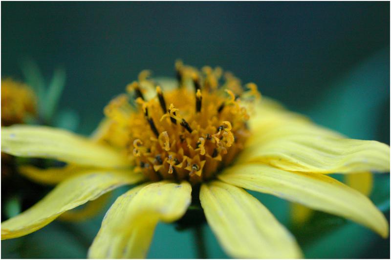 'Lemon Queen' helianthus