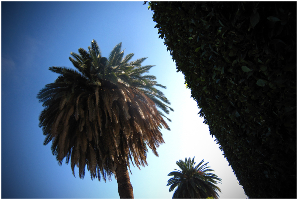 Palm with hedge