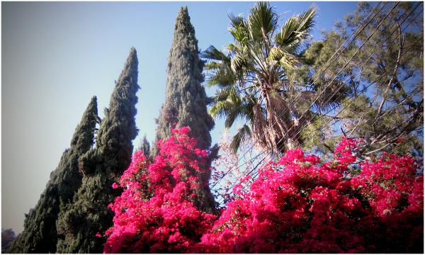 Shock of pink (bouganvillea)