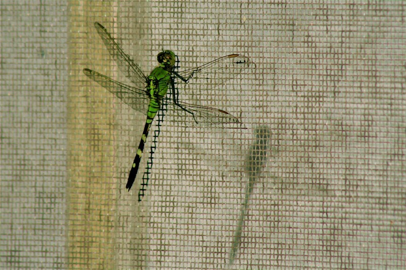 dragonfly on a window screen