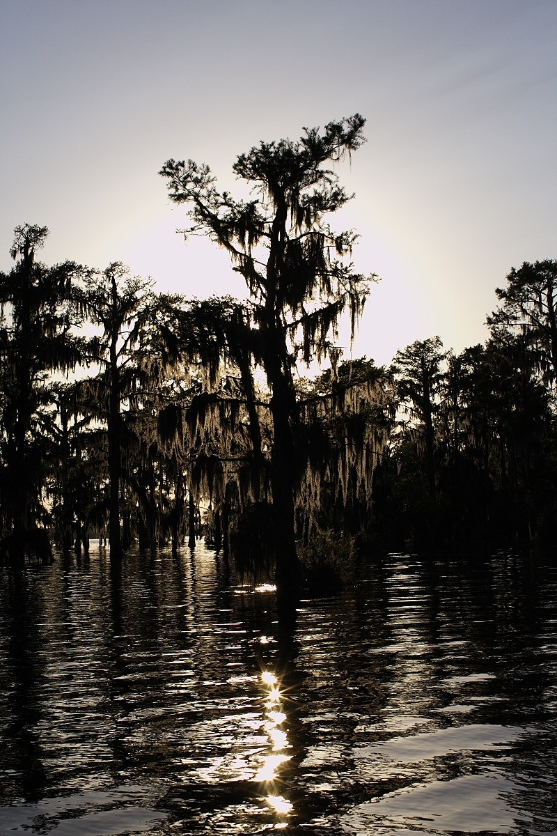 backlit tree with spanish moss