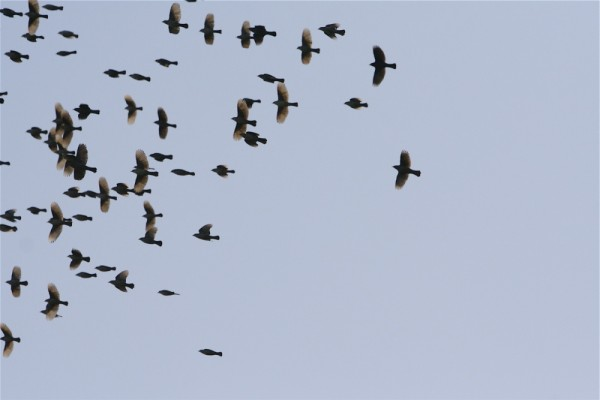 flock of unknown birds over the Atchafalaya