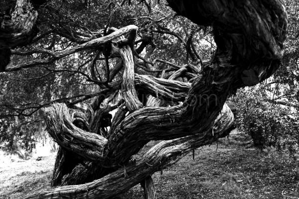 cypress tree in San Francisco