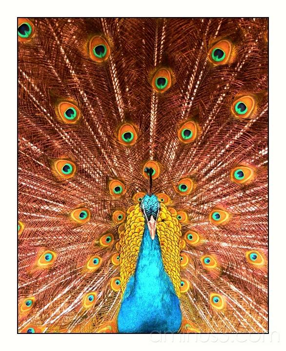 Peacock in full flight