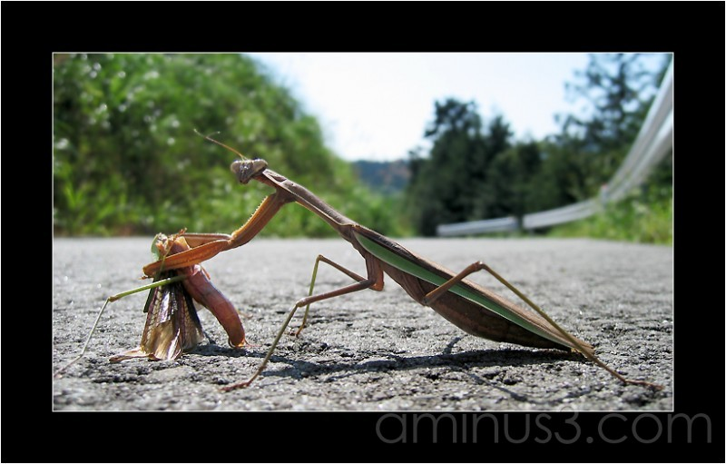Macro of a praying mantis