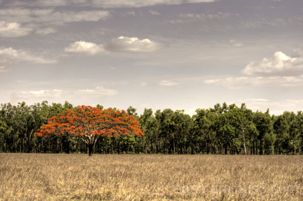 Flame tree near Litchfield National Park