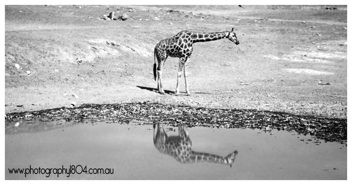 Giraffe's reflection