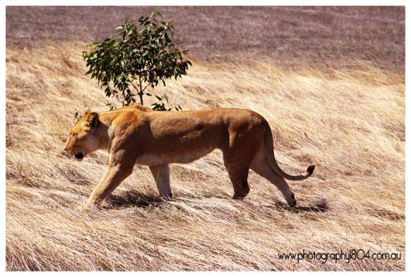 Lioness at Monarto Zoo