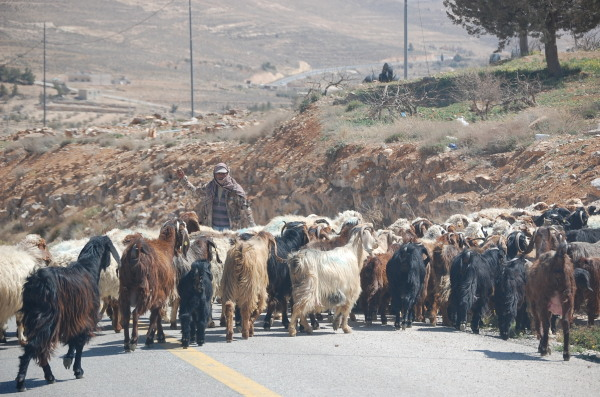 A herd of goats crosses the road