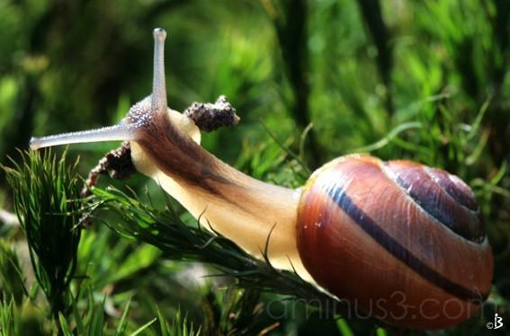 Escargot des bois