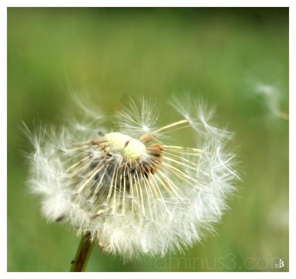 plante printemps pissenlit nature fleur macro