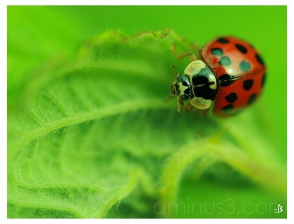 Lonesome Ladybird