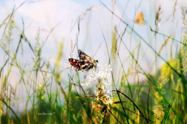 Papillonner **